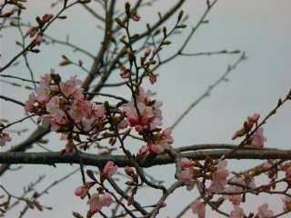 ooyamnazakura.jpg